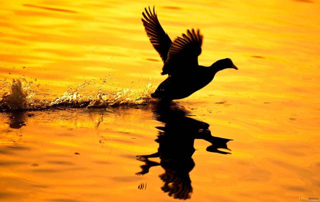 Hueman_Animals_OZDEL_SUNSET_DUCKS_03