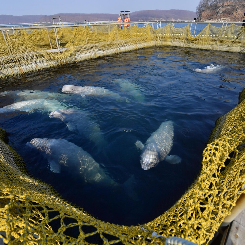 russia-will-free-nearly-100-captive-whales-from-prison__334049_